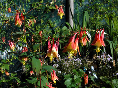 Aquilegia 'Tequila Sunrise' - medium image 4
