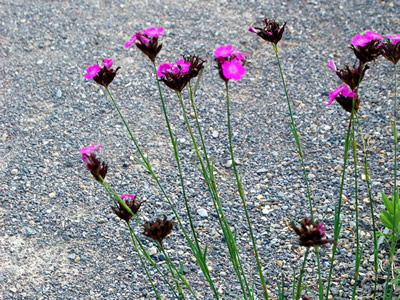 Dianthus carthusianorum - medium image 4