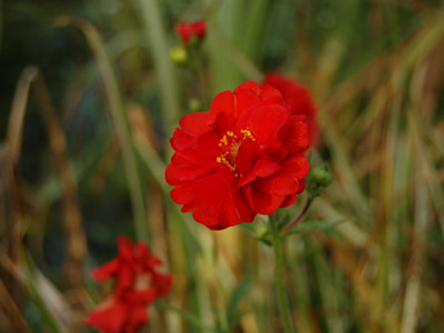 Geum 'Blazing Sunset' - medium image 4