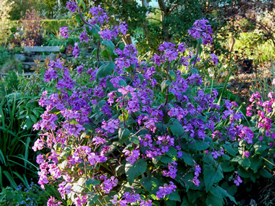 Lunaria annua 'Munstead Purple' - medium image 4