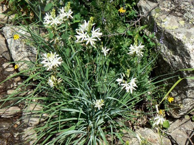 Anthericum liliago - medium image 5