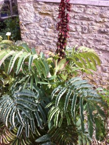 Melianthus major - medium image 5