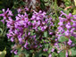 Stachys macrantha 'Superba' - small image 1