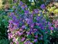 Lunaria annua 'Munstead Purple' - small image 4