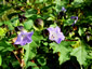 Nicandra physalodes 'Violacea' - small image 4