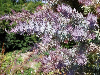 Acacia Baileyana Purpurea Seed