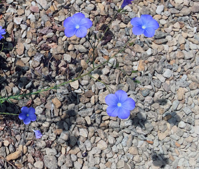 Linum narbonense Seed