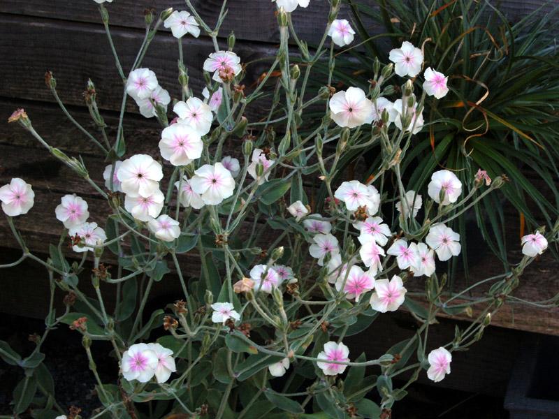 Lychnis Coronaria Oculata Seed