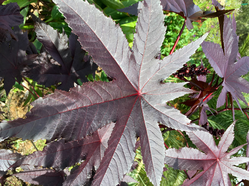 Ricinus Communis Bolivian Red Seed