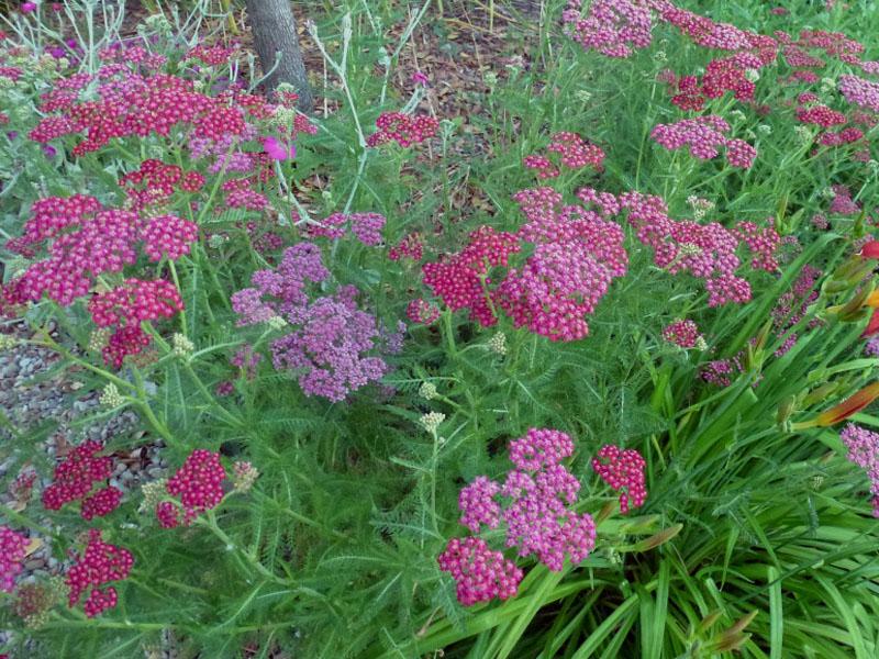 Achillea Millefolium Cassis Seed