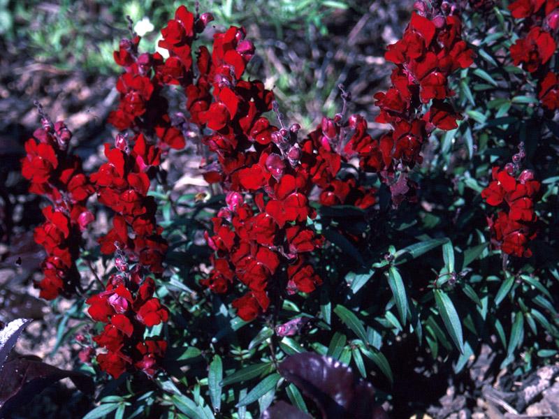 Antirrhinum Black Prince Seed