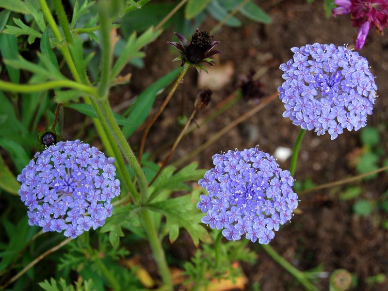 Didiscus Coerulea  U0026 39 Blue Lace U0026 39