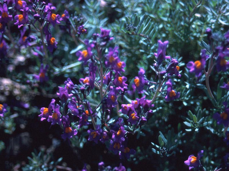 Linaria alpina Seed