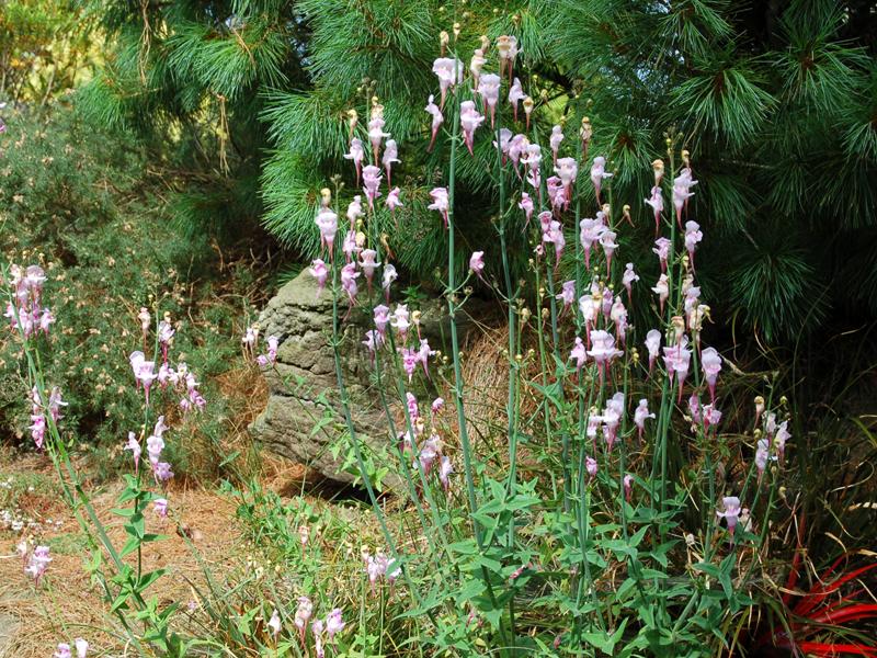 Linaria triornithophora Pink Form Seed
