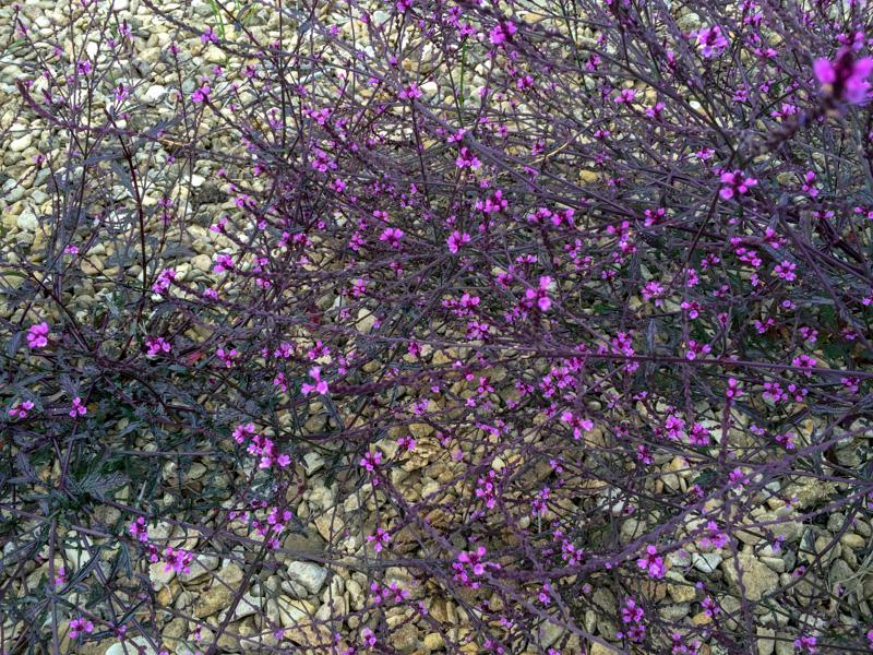 Vermiculite For Plants Verbena officinalis 'B...