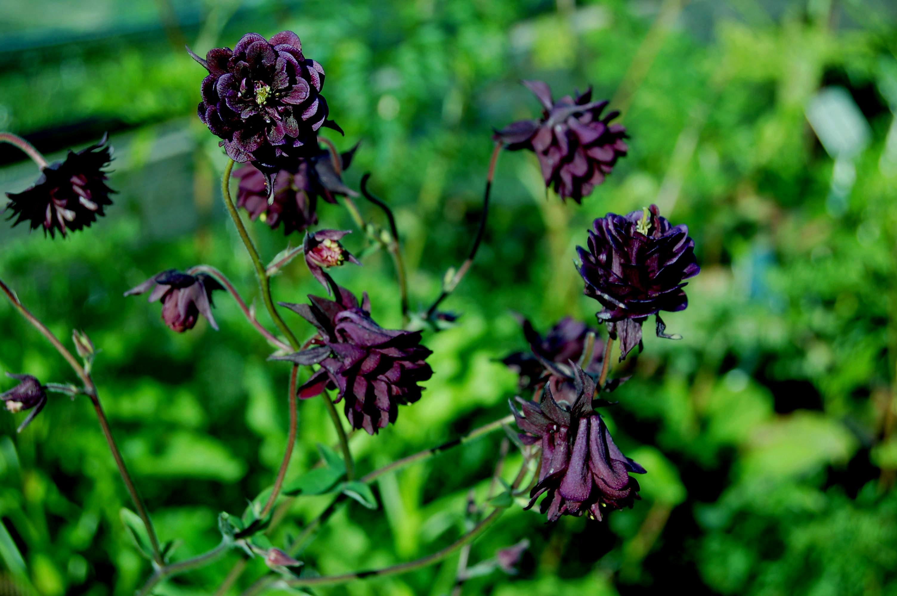 Aquilegia Black Barlow Seed