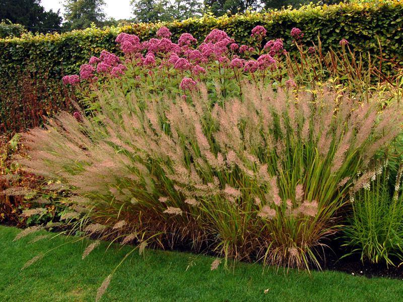 Calamagrostis brachytricha for Contemporary grasses