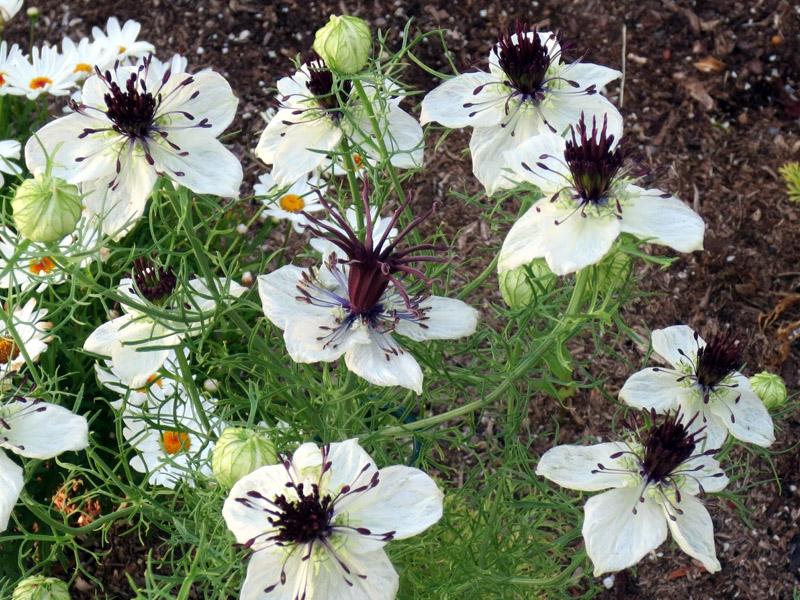 Nigella Papillosa African Bride Seed