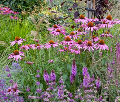 echinacea purpurea 39 magnus superior 39 agm. Black Bedroom Furniture Sets. Home Design Ideas