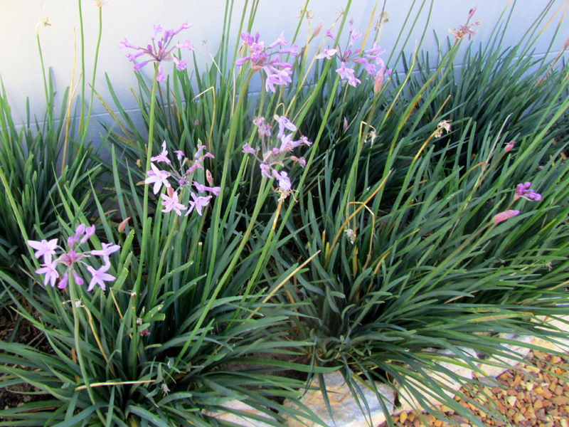 Picture of Live Society Garlic aka Tulbaghia violacea green Prennial Plant Fit 5 Gallon Pot