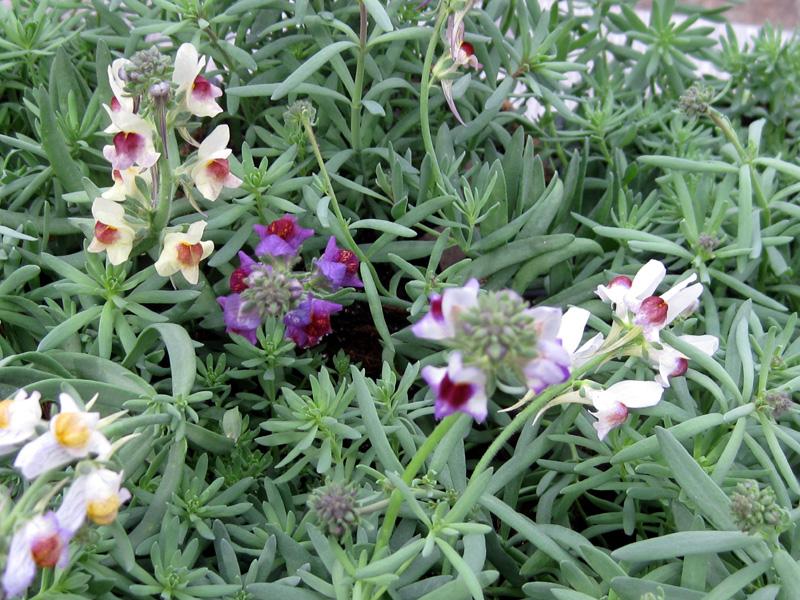 Linaria aeruginea 'Neon Lights' Seed