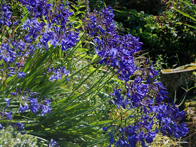 Agapanthus short dark blue Headbourne hybrids - medium image 1