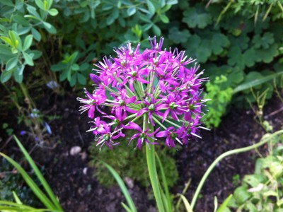 Allium wallichii - medium image 1