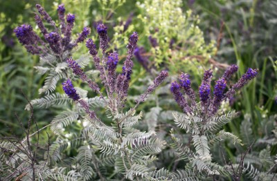 Amorpha canescens - medium image 1