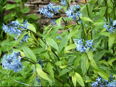 Amsonia tabernaemontana - medium image 1