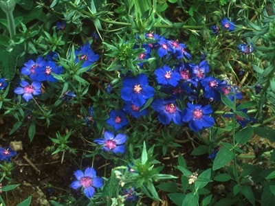 Anagallis monellii 'Blue Light' - medium image 1