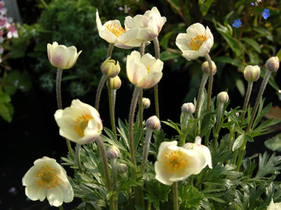 Anemone multifida 'Major' - medium image 1
