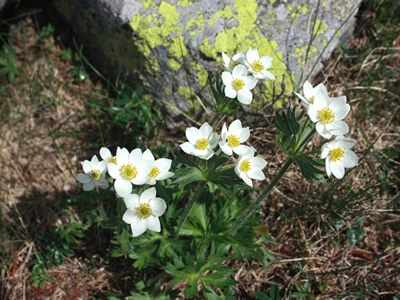 Anemone narcissiflora - medium image 1