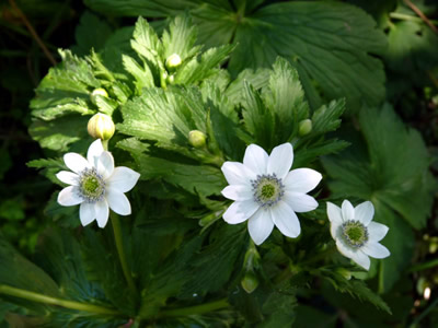 Anemone rivularis - medium image 1