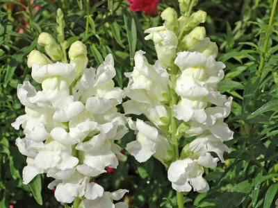 Antirrhinum 'Rocket White' - medium image 1