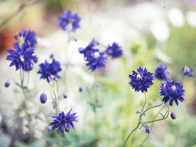 Aquilegia 'Blue Barlow' - medium image 1