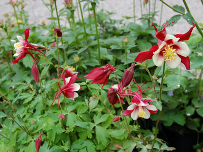 Aquilegia 'Red Hobbit' - medium image 1