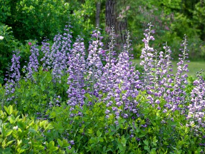 Baptisia australis ex 'Purple Smoke' - medium image 1
