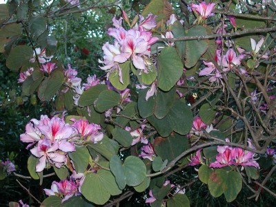 Bauhinia purpurea - medium image 1