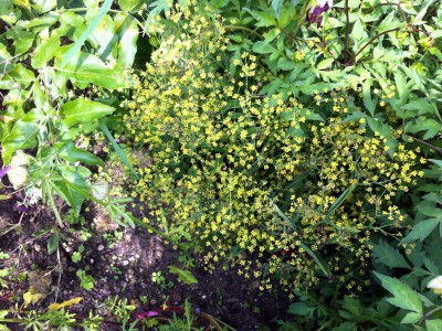 Bupleurum falcatum short form - medium image 1