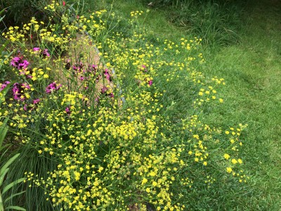 Bupleurum falcatum tall form - medium image 1