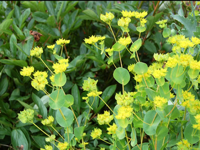 Bupleurum griffithii - medium image 1