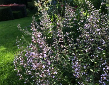 Calamintha nepeta 'Blue Cloud' - medium image 1