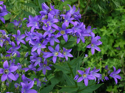 Campanula lactiflora deep blue - medium image 1
