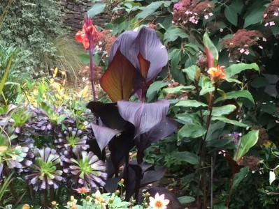 Canna 'Tropicanna Black' - medium image 1