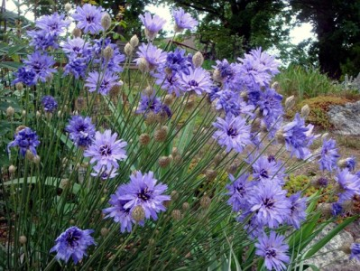 Catananche caerulea - medium image 1