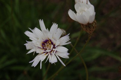 Catananche caerulea 'Alba' - medium image 1