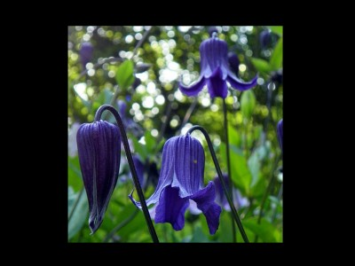 Clematis integrifolia 'Blue Ribbons' - medium image 1