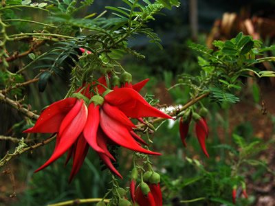 Clianthus puniceus - medium image 1