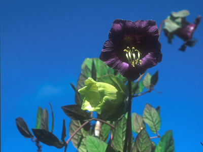 Cobaea scandens - medium image 1
