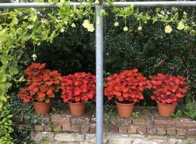 Coleus 'Orange and Purple' - medium image 1